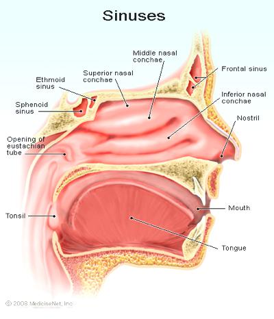 the sinuses diagram