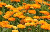 Marigold or Calendula -The Medicinal Properties