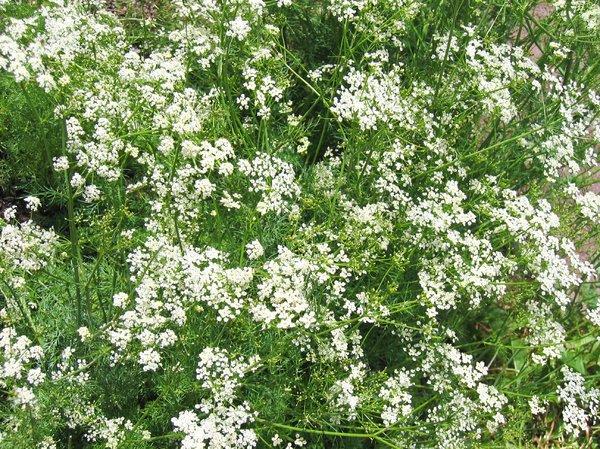 Caraway Plants growing