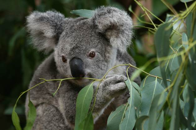 Eucalyptus – Medicinal Plant With Health Benefits
