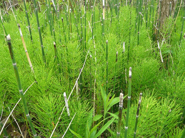 Horsetail Benefits And Information