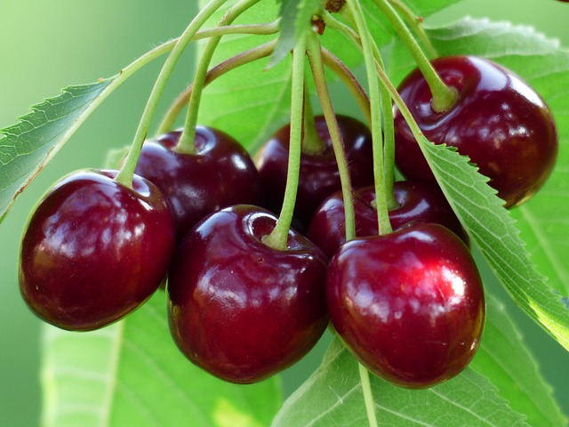 tart cherry on tree