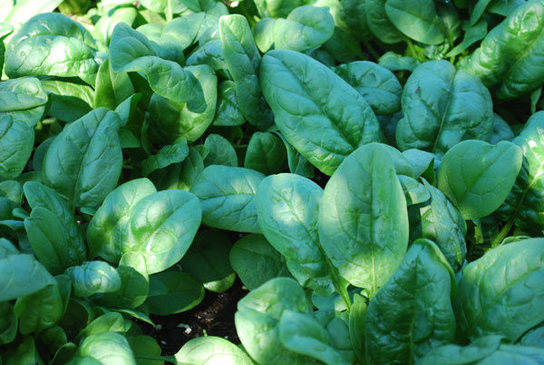 live spinach leaves used for cholesterol lowering