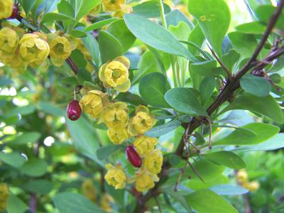 Barberry or Berberis vulgaris