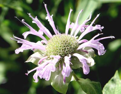 Bee Balm-Monardafistulosa