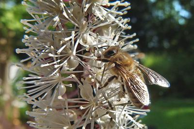 Black cohosh with bee