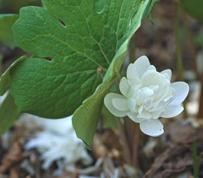Bloodroot_Sanguinaria_canadensis_Flower