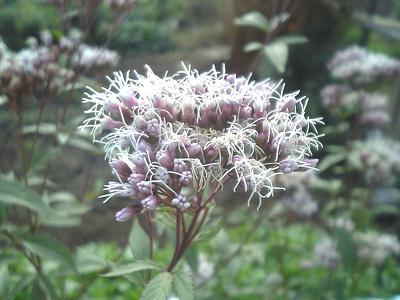 Boneset-Eupatorium_japonicum_flower