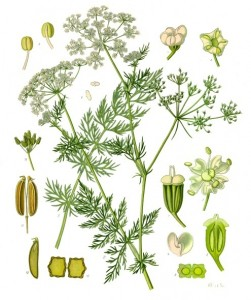 Caraway illustrated