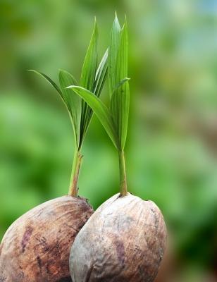 CoconutOilPlant
