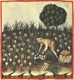 Cultivating-Garlic-illustration