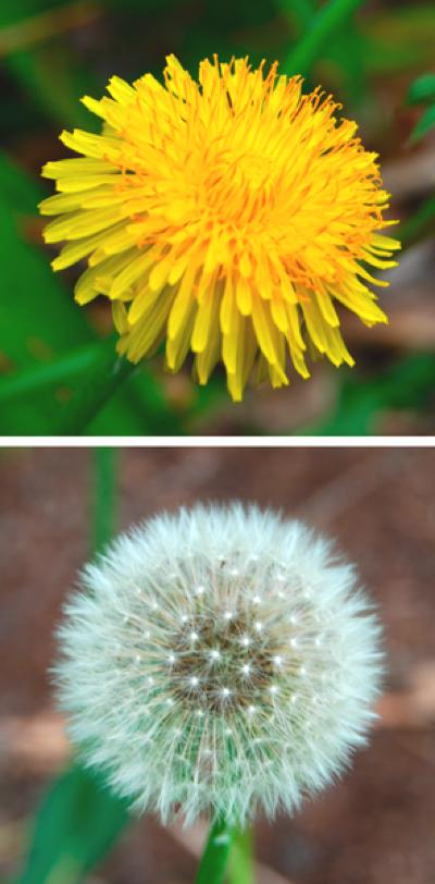 Dandelion-Comparison