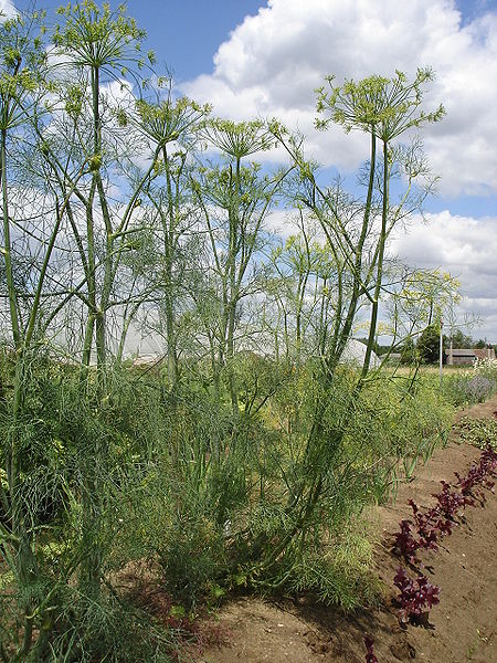 Dill Weed Image