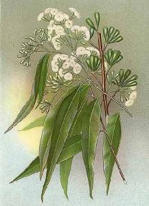 Eucalyptus_microcorys_Minchen