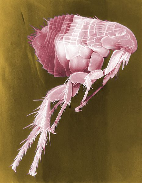 Flea under microscope