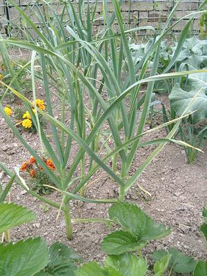 Garlic-garden