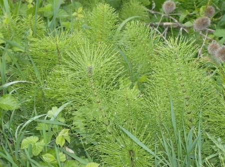 Horsetail – Benefits and Information