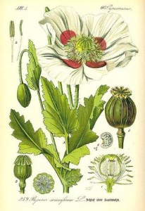 Opium Poppy Illustration