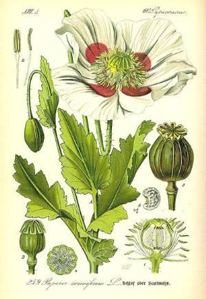 Opium Poppy Illustration