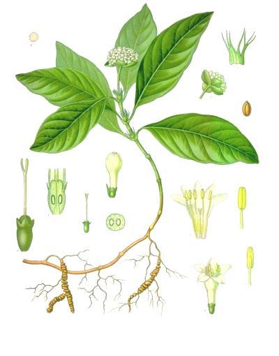 Psychotria_ipecacuanha