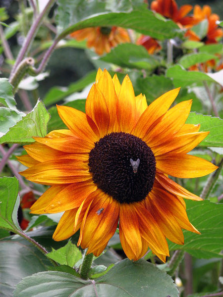 Sunflower rich in vitamin E
