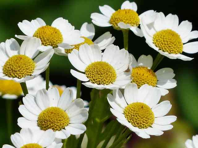 chamomile flowers growing