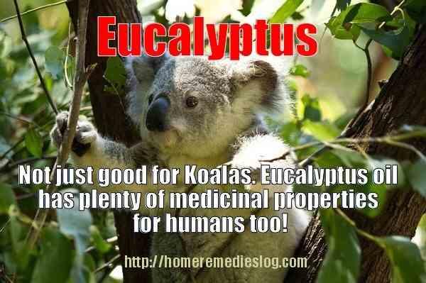 eucalyptus meme