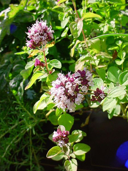 flowering_oregano