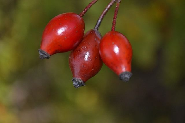 three rosehip fruits