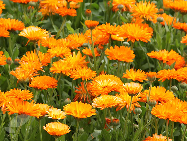 Marigold or Calendula -The Medicinal Properties
