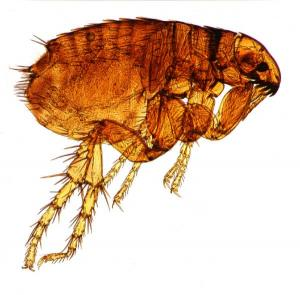 Home Remedies for Fleas – Flea Bombs and Other Treatments